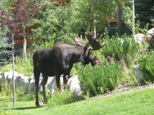 Moose-Powder Horn 003